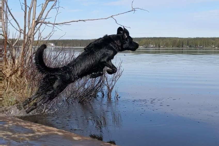 working dog jumping into water