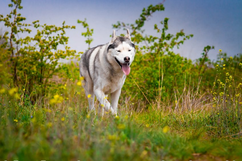 husky dog running through field