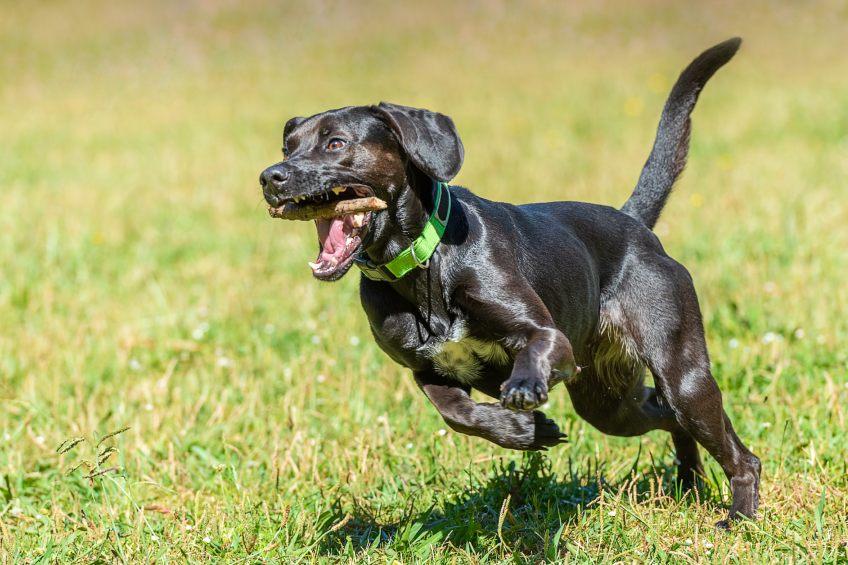 sporting dog running in field