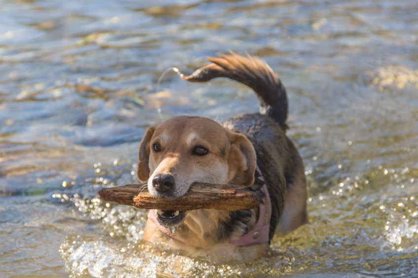 dog playing with stick in the water
